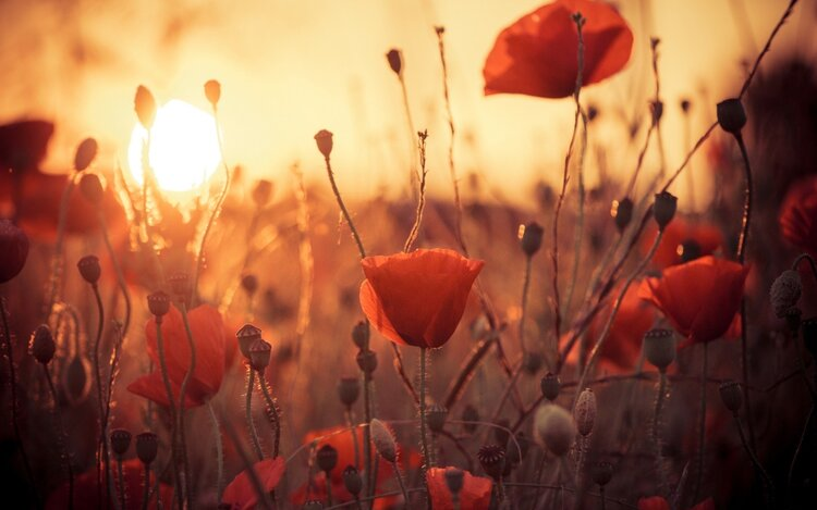 Poppies at Sunset painting with Erik Ritter
